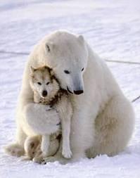Bear hugging wolf